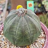 오베사 중대품 1210-39|Euphorbia obesa (Baseball Plant)