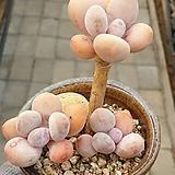 홍미인묵은둥이3두자연군생|Pachyphytum ovefeum cv. momobijin