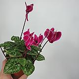 시클라멘 씨클라멘 공기정화식물 사진상품발송