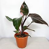 핑크프린세스 수입식물 사진상품발송|
