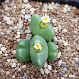 conophytum quaessitum|