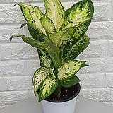 ♥마리안느 공기정화식물 ♥안나 디펜바키아
