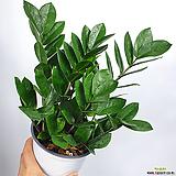 금전수 머니트리 돈나무 공기정화식물 한빛농원|Zamioculcas zamiifolia