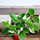공기정화식물 호아|