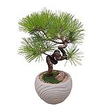해송(시멘트원형분) 축승진화분 개업축하 인테리어식물 DLP-285|