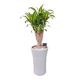 칼라행운목 (흰색 완성분) 신혼집인테리어 축하화분 사무실화분 DLP-284|happy tree