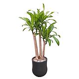 행운목 괴목 (고급폴리완성분) 대품 인테리어식물 개업축하화분 DLP-283|happy tree