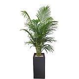 아레카야자(사각완성분) 신혼집식물 카페인테리어 개업축하화분 DLP-282|