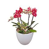 호접란 (금나비) 백자완성분 중품 개업식물 선물식물 서양난 DSP-042|