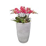 호접란(금나비) 일반도자기완성분 대품 개업식물 선물식물 행사식물 DSP-041|
