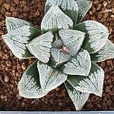 피그마에아 실생|Haworthia pygmaea