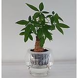 파키라세트/식물/공기정화식물/가습기/천연가습기/공기정화/나라아트|
