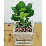크루시아세트/식물/공기정화식물/가습기/천연가습기/나라아트|