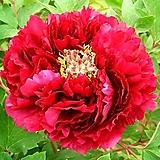 챔피언센트 화분상품♥귀부인의 품격 모란꽃♥수입목단♥레드블랙 겹꽃♥수입 목단 모란|