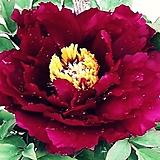 샤이니블랙골드 화분상품♥귀부인의 품격 모란꽃♥수입목단♥다크레드 겹꽃 Shining Black Gold♥수입 목단 모란|