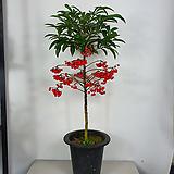 만냥금 만냥금나무 공기정화식물 한빛농원 사진상품발송|