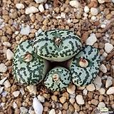 conophytum ursprungianum|