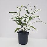 [단품할인]싸리나무(흰꽃) 
