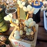달마미인 묵은  한몸 Pachyphytum oviferum