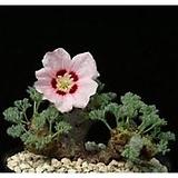 멀티피듐 씨앗 2립( 흰색 + 핑크색) 