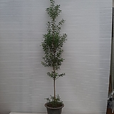 외목대 호랑가시나무/무늬은목서/높이 130센치 /사진상품