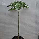 파파야나무|