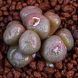 Conophytum ectipum(엑티품) 546