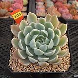 엔젤리너스금(Echeveria AngelinusGold)12-2313|