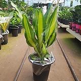 맛상게아나  공기정화식물|