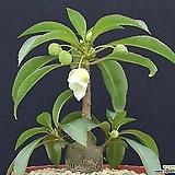 캐리애  수입 씨앗 5립 (흰꽃) 