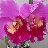 카틀레야.진핑크에빨강립술.아주예쁜색.꽃대형종.향기좋은향.고급종.잘않나오는 품종.인기상품.꽃피었던상품.