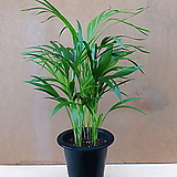 [진아플라워] 1등 공기정화식물 아레카 야자 139|