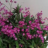 긴기아난.진핑크.(아주좋은향).여성스러운색.꽃대.잎도 깨끗함.가격대비물건좋음.