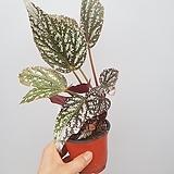 실버졸리  베고니아|Begonia