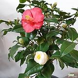 꽃이 예쁜~삼색동백|