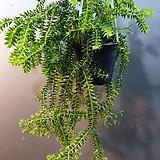 석송 카리나타 공중식물(수입식물)  새로입고|