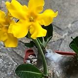에번넘 수입 씨앗 5립 ( 노랑 색 꽃) 