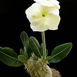 에번넘 수입 씨앗 5립 ( 흰색 꽃) 