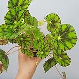 베고니아  아이리쉬|Begonia