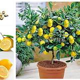 사계성 레몬트리 중품♥노란열매 열리는 오리지널 레몬나무