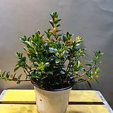레마탄(주황색 꽃이 열매처럼 피는 아이에요) 새로입고 가격저렴 