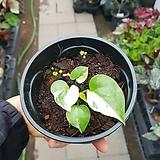 무늬안시리움 유묘|Anthurium andraeaeanum