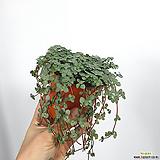 타라 타아라 공기정화식물 초특가 한빛농원|