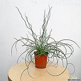 준쿠스 공기정화식물 초특가 한빛농원|