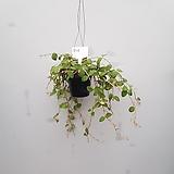 호야  말리  수입식물|Hoya carnosa