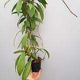 호야  메모리아|Hoya carnosa