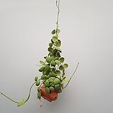 디시디아 넘초크  토분|