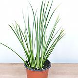무늬석창포 석창포 공기정화식물|