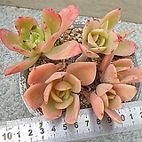 골든글로우|Echeveria cv. Golden Glow