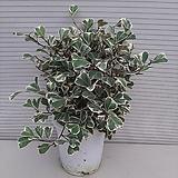 스위트하트고무나무|Ficus elastica